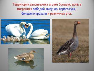 Территория заповедника играет большую роль в миграциях лебедей-шипунов, серог