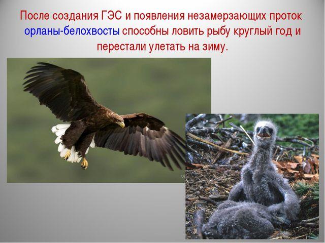 После создания ГЭС и появления незамерзающих проток орланы-белохвосты способн...