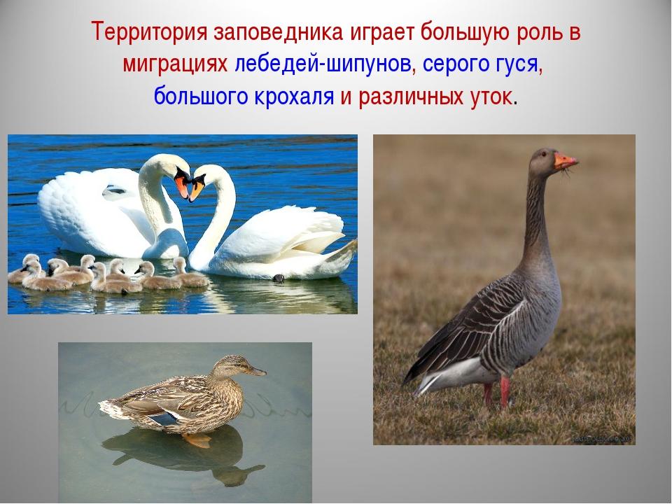 Территория заповедника играет большую роль в миграциях лебедей-шипунов, серог...