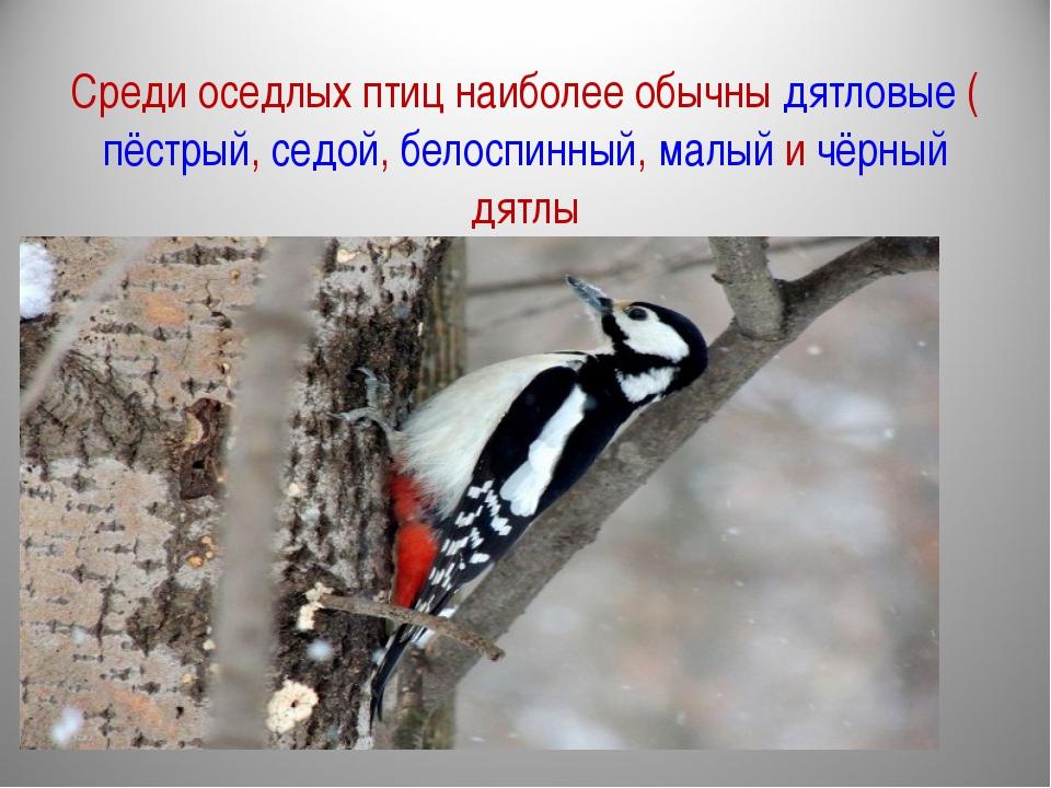 Среди оседлых птиц наиболее обычны дятловые (пёстрый, седой, белоспинный, мал...