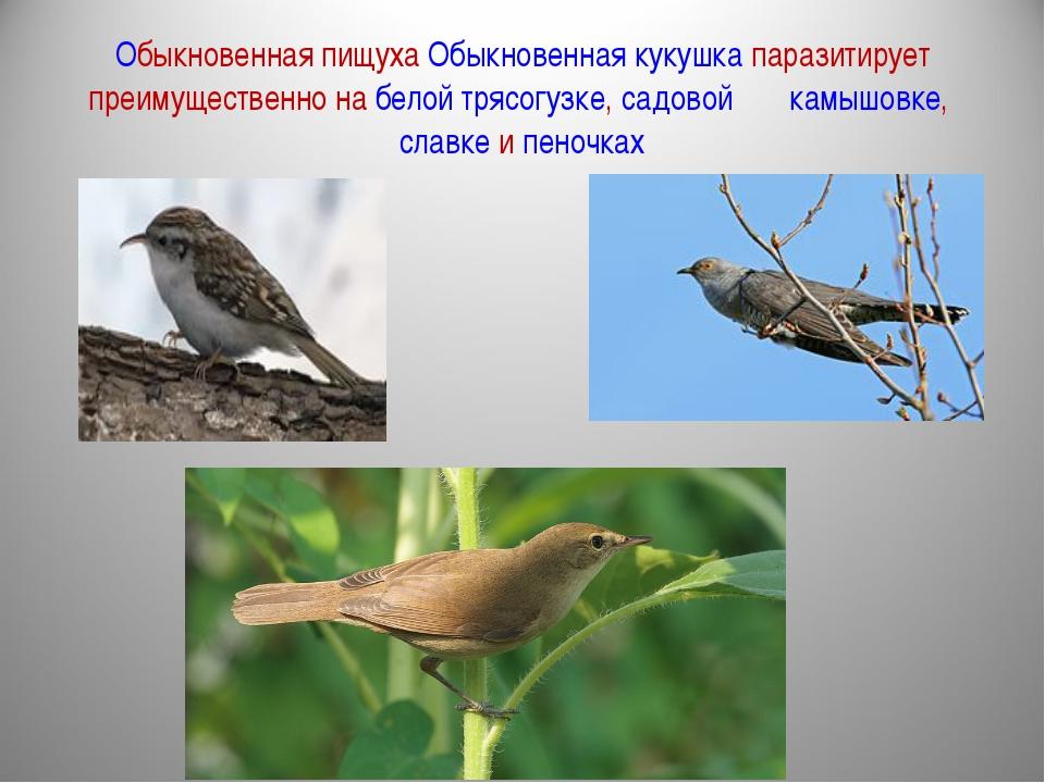 Обыкновенная пищуха Обыкновенная кукушка паразитирует преимущественно на бело...