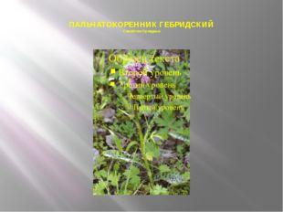 ПАЛЬЧАТОКОРЕННИК ГЕБРИДСКИЙ Семейство Орхидные