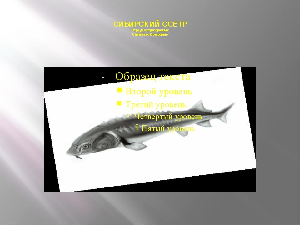 СИБИРСКИЙ ОСЕТР Отряд Осетрообразные Семейство Осетровые