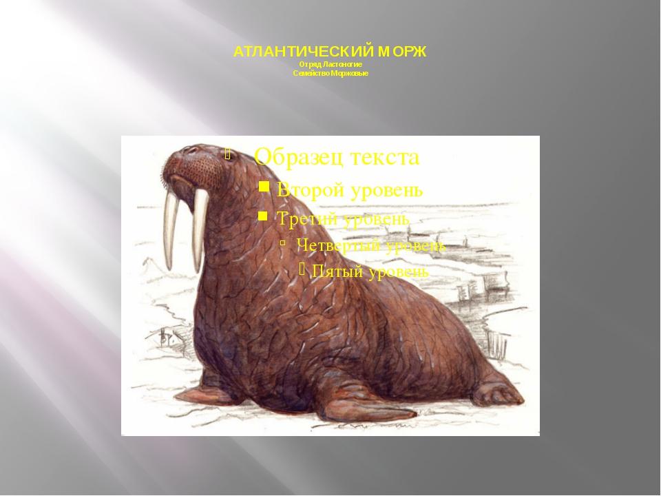 АТЛАНТИЧЕСКИЙ МОРЖ Отряд Ластоногие Семейство Моржовые