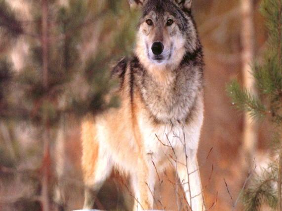 Wolf-1026.jpg