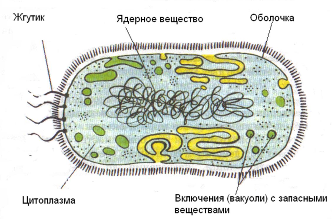 презентация по биологии по теме бактерии для начальной школы