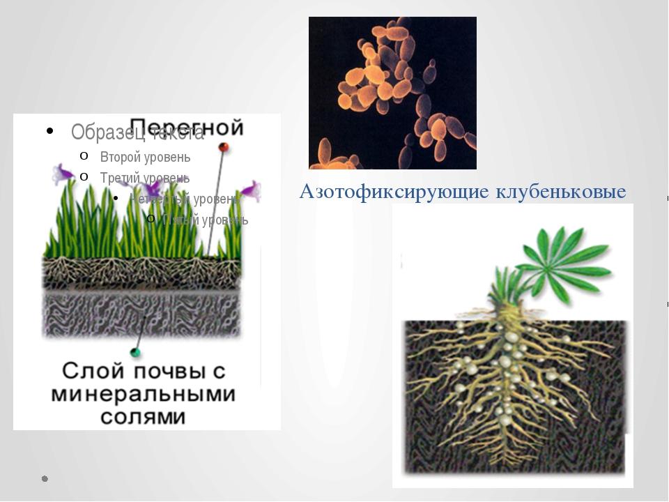бактерии Азотофиксирующие клубеньковые