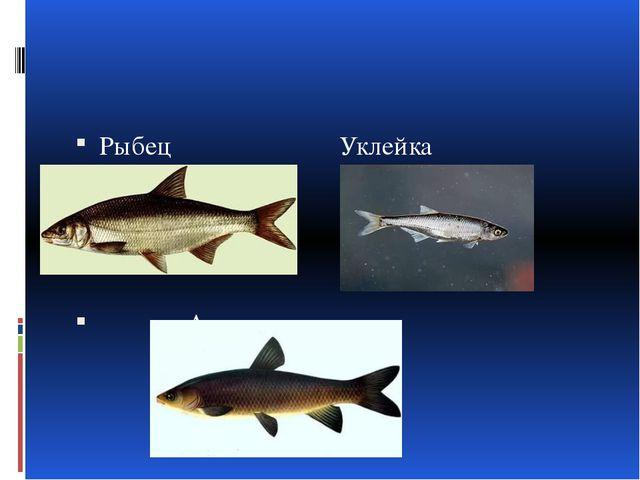 Рыбец Уклейка Амур