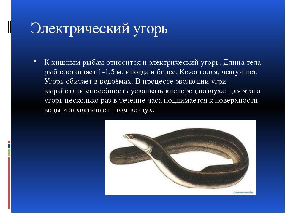 Электрический угорь К хищным рыбам относится и электрический угорь. Длина тел...