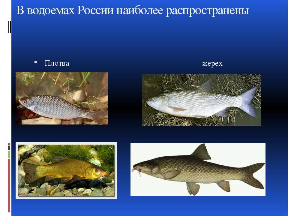 В водоемах России наиболее распространены Плотва жерех Линь усач