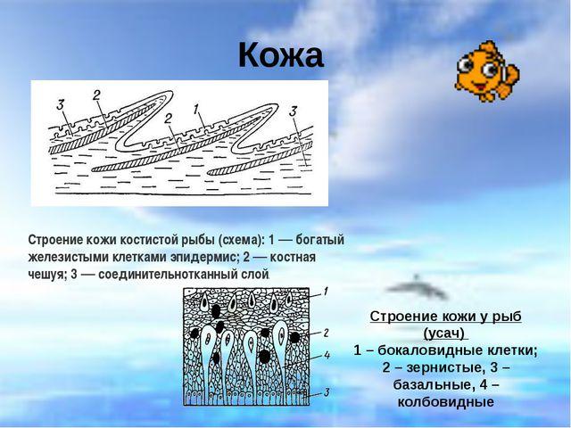 Кожа Строение кожи костистой рыбы (схема): 1 — богатый железистыми клетками э...