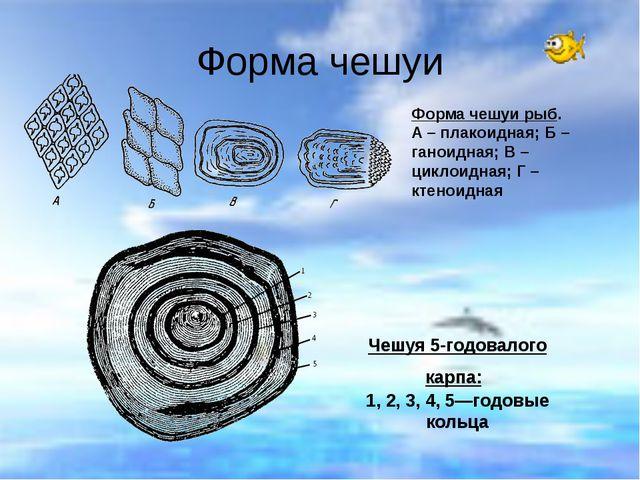 Форма чешуи Чешуя 5-годовалого карпа: 1, 2, 3, 4, 5—годовые кольца Форма чешу...