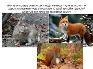 Многие животные осенью как и люди начинают «утепляться» – их шерсть становитс