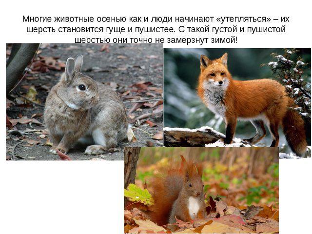 Многие животные осенью как и люди начинают «утепляться» – их шерсть становитс...