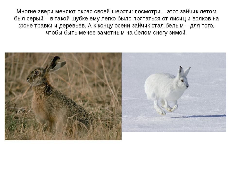 Многие звери меняют окрас своей шерсти: посмотри – этот зайчик летом был серы...