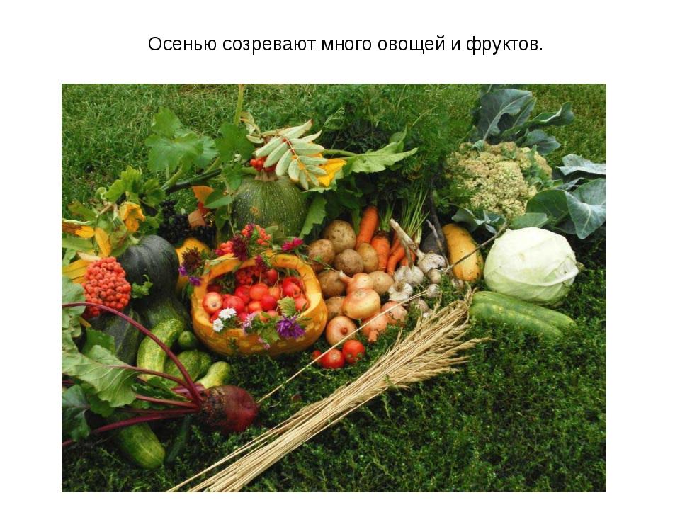 Осенью созревают много овощей и фруктов.
