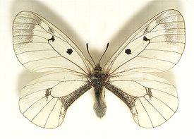 275px-Parnassius.mnemosyne.mounted.jpg