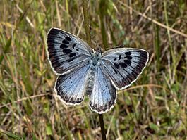 265px-Maculinea_arion_Large_Blue_Upperside_SFrance_2009-07-18.jpg