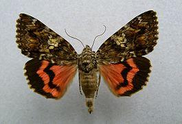265px-Catocala_sponsa.01.jpg