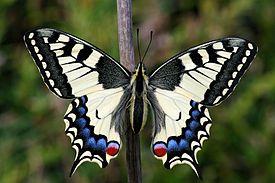 275px-Papilio_Machaon_imago_01.jpeg