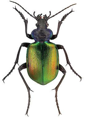 Calosoma_sycophanta_L._-_ZooKeys-245-001-g009.jpeg