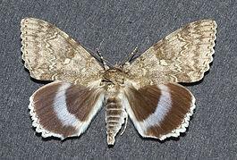 265px-Catocala_fraxini1.jpg