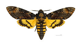 265px-Acherontia_atropos_MHNT_dos.jpg