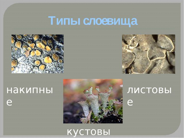 Типы слоевища накипные кустовые листовые