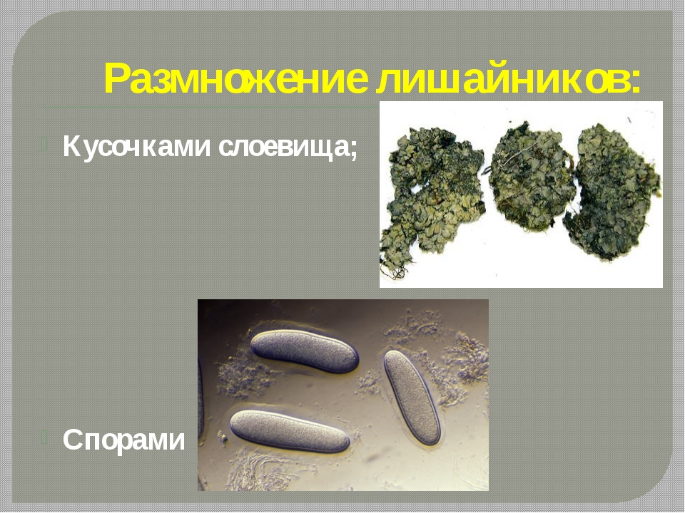 Размножение лишайников: Кусочками слоевища; Спорами