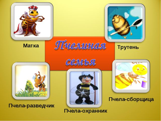Матка Трутень Пчела-разведчик Пчела-охранник Пчела-сборщица