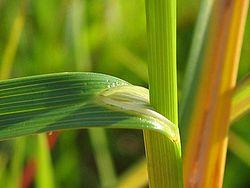 Carex ovalis blattscheide.jpeg