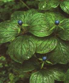 http://doctor.itop.net/pictures/MedPlants/094-1.jpg
