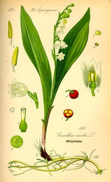 http://upload.wikimedia.org/wikipedia/commons/thumb/e/e1/Illustration_Convallaria_majalis0.jpg/220px-Illustration_Convallaria_majalis0.jpg