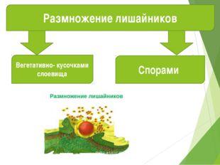 Размножение лишайников Вегетативно- кусочками слоевища Спорами