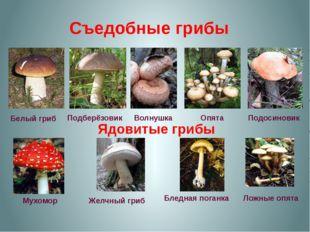Съедобные грибы Белый гриб Подберёзовик Волнушка Опята Подосиновик Ядовитые