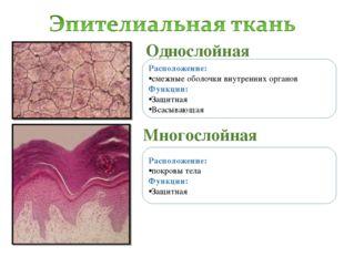 Однослойная Многослойная Расположение: смежные оболочки внутренних органов Фу