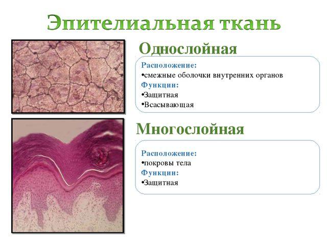 Однослойная Многослойная Расположение: смежные оболочки внутренних органов Фу...