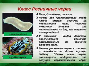 Класс Ресничные черви Тело удлинённое, плоское. Почти все представители этого