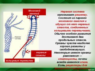 Нервная система напоминает решетку. Состоит из парного мозгового ганглия и ид