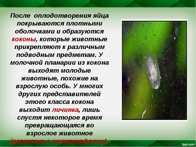 После оплодотворения яйца покрываются плотными оболочками и образуются коконы...