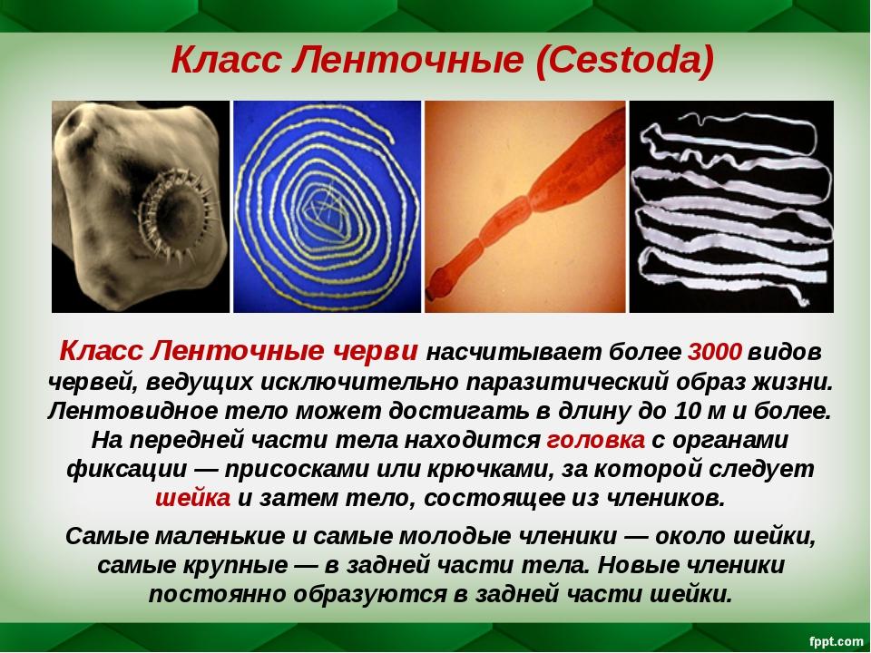 Класс Ленточные (Cestoda) Класс Ленточные черви насчитывает более 3000 видов...