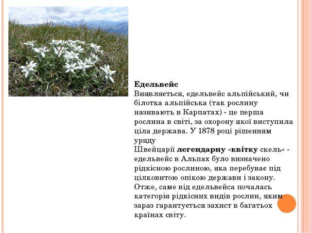 Едельвейс Виявляється, едельвейс альпійський, чи білотка альпійська (так росл...