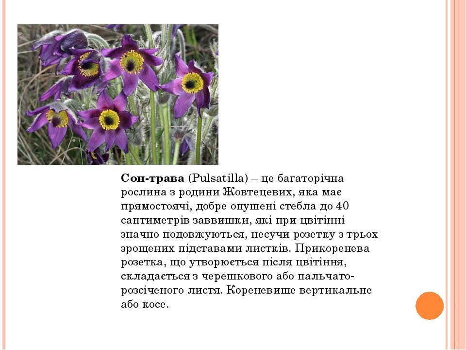 Сон-трава(Pulsatilla) – це багаторічна рослина з родини Жовтецевих, яка має...
