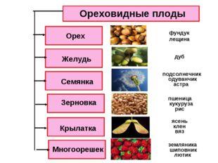 Ореховидные плоды Орех Семянка Желудь Зерновка Крылатка Многоорешек вяз ясень
