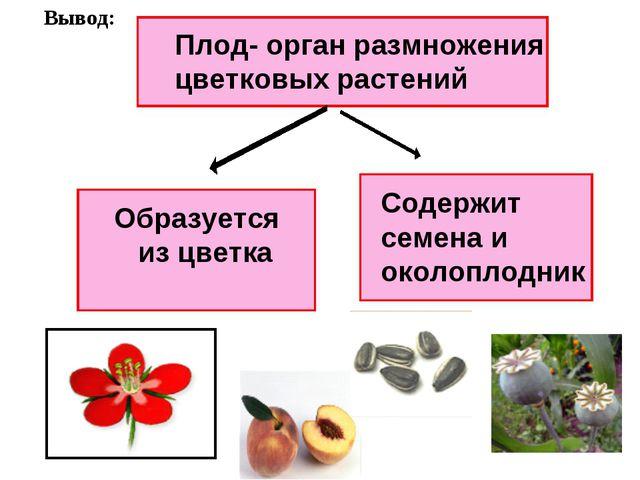 Плод- орган размножения цветковых растений Образуется из цветка Содержит семе...