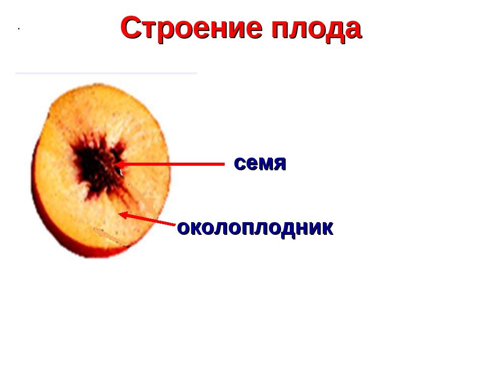 Строение плода семя околоплодник .