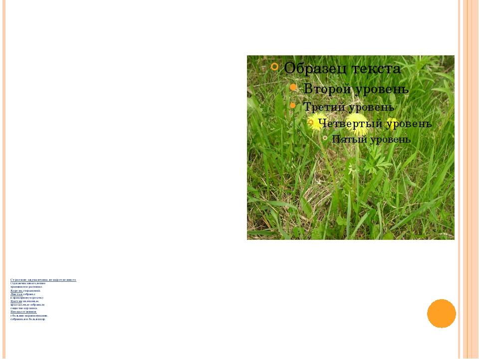 Строение одуванчика лекарственного Одуванчик многолетнее травянистое растение...