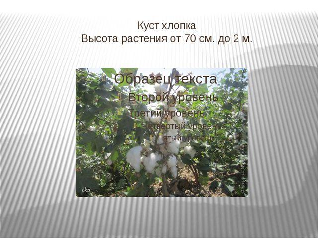 Куст хлопка Высота растения от 70 см. до 2 м.