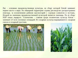 Рис – основная продовольственная культура, по сбору которой Китай занимает пе