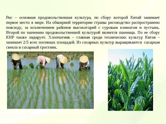 Рис – основная продовольственная культура, по сбору которой Китай занимает пе...